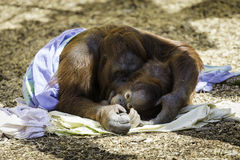 拥抱Bornean Orangutam的母亲和的孩子 免版税库存照片