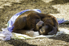 拥抱Bornean Orangutam的母亲和的孩子 库存照片
