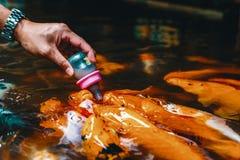 拥挤一起争夺食物的花梢鲤鱼 图库摄影