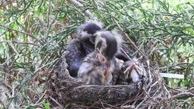 拥挤他们的巢- Day10b的幼小知更鸟 股票视频