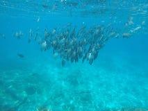 拥挤鱼在安达曼海 库存图片