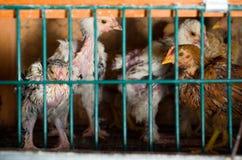 拥挤鸡电池 免版税库存照片