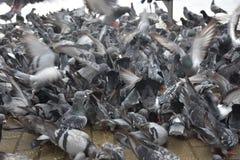 拥挤鸽子-许多鸟 免版税库存图片