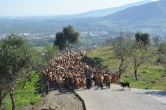 阻拦路的山羊牧群  免版税库存图片