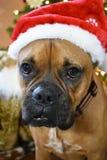 拳击手品种狗圣诞节画象 免版税图库摄影