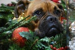 拳击手品种狗圣诞节画象 库存照片