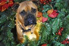 拳击手品种狗圣诞节画象 免版税库存图片