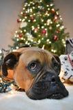 拳击手品种狗圣诞节画象 库存图片