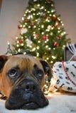 拳击手品种狗圣诞节画象 图库摄影