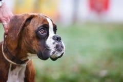拳击手在一条皮带的小狗在公园 免版税库存图片