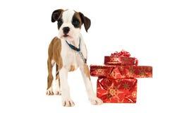 拳击手小狗在堆圣诞节礼物旁边突出 免版税库存照片