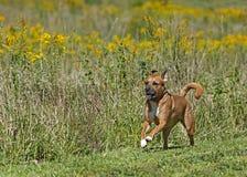 拳击手或Rhodesian ridgeback混合的品种狗 免版税库存图片