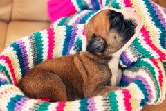 拳击手新出生的小狗 免版税库存照片