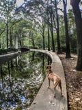 拳击手狗从河在秋天喝 免版税库存图片