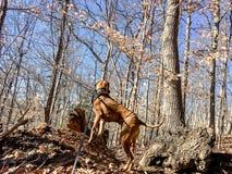 拳击手狗在森林在小山的冬天 图库摄影
