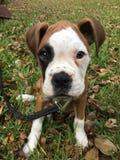 拳击手逗人喜爱的小狗 免版税库存图片
