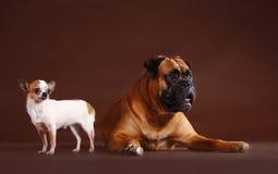 拳击手和奇瓦瓦狗在演播室 图库摄影