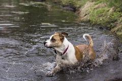 拳击手牛头犬在湖混合了品种狗游泳 库存图片