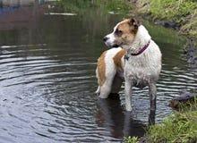 拳击手牛头犬在湖混合了品种狗游泳 免版税库存图片