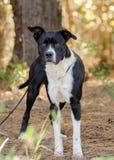 拳击手牛头犬被混合的品种狗 免版税库存图片