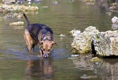 拳击手牧羊人在湖混合了品种狗游泳 库存照片