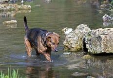 拳击手牧羊人在湖混合了品种狗游泳 免版税库存照片
