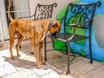 拳击手狗在后院探索露台家具 图库摄影