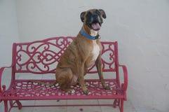 拳击手狗坐一条红色长凳 库存照片