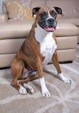 拳击手狗坐地毯在沙发附近 免版税库存图片