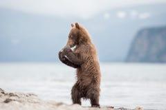 拳击崽熊 免版税库存照片