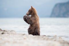 拳击崽熊 免版税库存图片