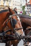 拴住在布拉格的马的头 库存照片