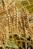 拼写的或拼写的麦子 库存图片