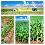 拼贴画领域玉米 免版税图库摄影