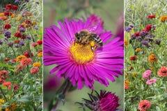 拼贴画-五颜六色的百日菊属和翠菊与蜂 免版税库存照片