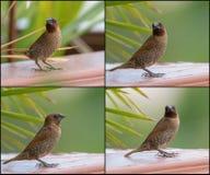 拼贴画套在棕色颜色的鳞状breasted Munia鸟 免版税库存图片