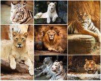 拼贴画狮子和老虎 免版税库存图片