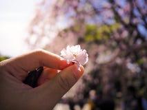 拾起一朵美丽和五颜六色的樱花,佐仓 图库摄影