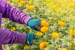 拾起万寿菊花的手在庭院里 库存照片