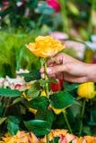 拾起在一家现代花店的一个人的手一朵美丽的黄色玫瑰 免版税库存图片