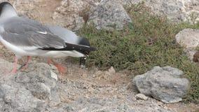 拾起巢的熔岩鸥小卵石在sth广场在加拉帕戈斯 股票录像