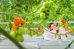 拾起新鲜的成熟红色蕃茄的确信的女工在gr 免版税库存图片