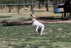 拿到球的狗混合在公园 库存照片