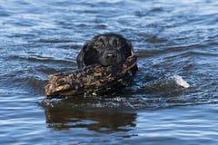 拿来棍子的一只黑拉布拉多猎犬 图库摄影