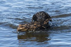 拿来棍子的一只黑拉布拉多猎犬 库存图片