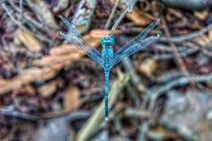 拿着一个树枝的一只蓝色蜻蜓在森林里 库存图片