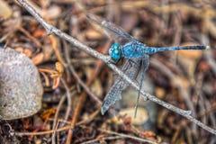 拿着一个树枝的一只蓝色蜻蜓在森林里 免版税库存照片