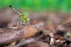 拿着一个树枝的一只绿色蜻蜓在森林里 库存照片