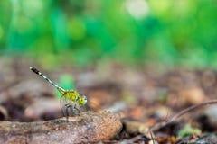 拿着一个树枝的一只绿色蜻蜓在森林里 免版税库存图片