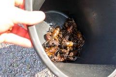 拿着一个黑桶的孩子丰富用信号小龙虾 免版税库存照片